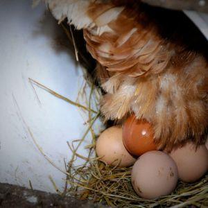 Uova per il recupero e per accelerare la riparazione dei tessuti.