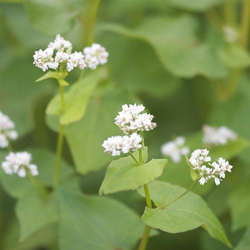 pianta del grano saraceno