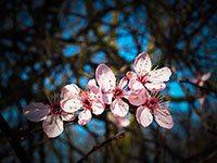 Ramo di mandorlo con fiori rosa