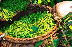 Foglie di tè verde in cesto