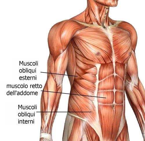 Muscoli addominali